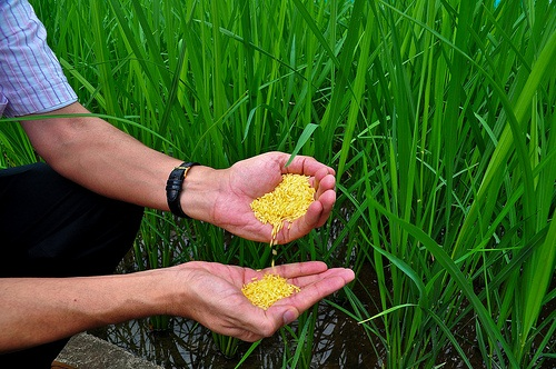 a quest to produce the golden rice to combat malnutrition Compared to a non-genetically engineered (ge) variety, the deployment of golden rice has suffered from a delay of at least ten years the cause of this delay is exclusively ge-regulation.