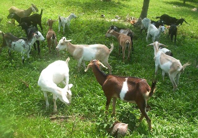 Goat raising