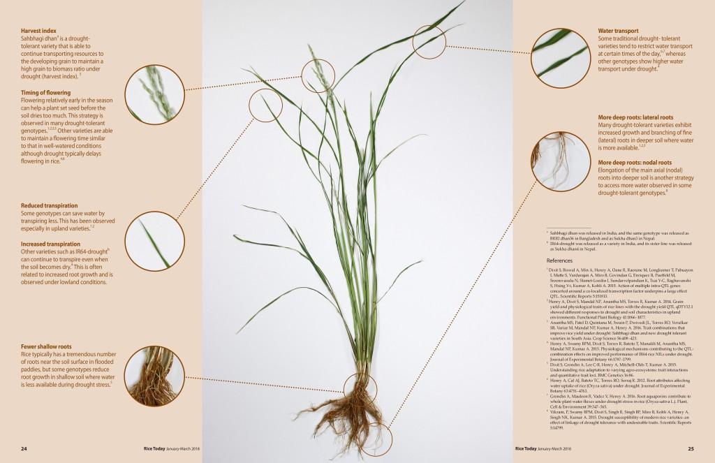 Rice-plant jpeg