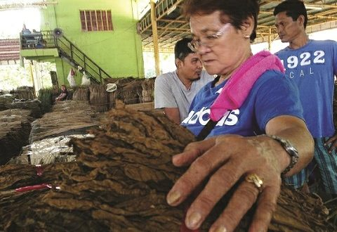 Ruthela Mabalo, 73, a comprador at the Bagsakan, the tobacco trading center in Laguindingan town in Misamis Oriental, examines a mano (a sheaf of 100 batek leaves) before she decides to buy them from a farmer-seller. (photo by Lina Sagaral Reyes)