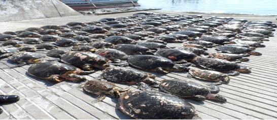 Rows of sea turtles or Pawikans.Photo from DENR – Biodiversity Management Bureau Facebook Page