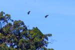 1Philippines eagle